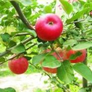 矮化苹果苗图片