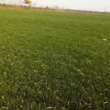 供应西安草皮/混播草皮/西安草坪,基地自产自销