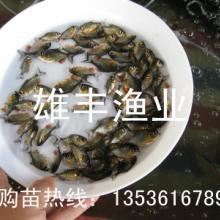 供应淡水白鲳鱼鱼苗批发,广东淡水鱼苗厂家图片