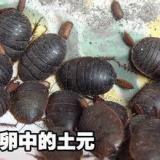 供应邯郸马头蝎子土元养殖回收土元鲜虫、土元干品、金边土元养殖收售
