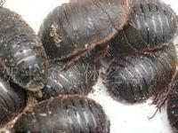供应河北邯郸土元养殖的最佳温度土元鲜虫、土元干品、土元种虫长期供应