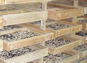 黄粉虫养殖基地图片/黄粉虫养殖基地样板图 (4)