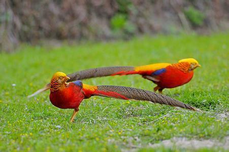 中国名鸟--红腹锦鸡图片大全
