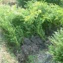 南方红豆杉三年苗图片