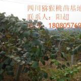 供应贵州贵长猕猴桃苗、贵州猕猴桃小苗、猕猴桃苗