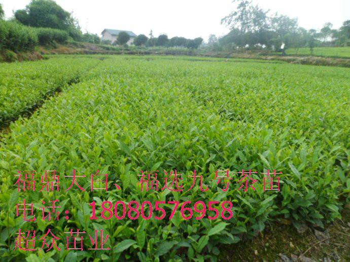 供应陕西大叶种茶苗、陕西大叶茶苗基地、重庆大叶种茶苗价格