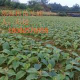 供应贵州猕猴桃苗、贵州猕猴桃产地供应大量猕猴桃小苗