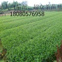供应湖北茶叶茶苗、全方位布阵湖北茶产业、湖北大量茶苗