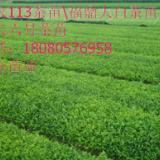 供应河南茶叶茶苗、河南茶产业发展趋势、河南茶苗基地