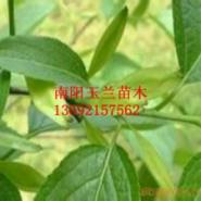杜仲种子低价大叶女贞种子图片