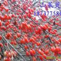 山茱萸种子和树3到35公分大量图片