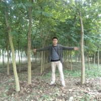 供应广西柳州宮粉紫荆,米径3到10公分,量大