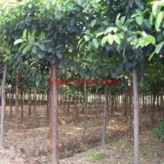 大叶榕树图片