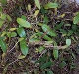 供应野生石橄榄批发厂家,野生石橄榄批发,野生石橄榄批发商,野生石橄榄