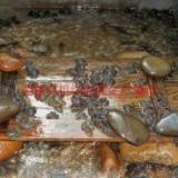 供应迎富石蛙养殖场,种蛙,幼蛙,商品蛙,蚯蚓,黄粉虫,石蛙产地直销