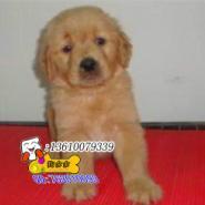 金毛寻回犬哪里有卖广州金毛犬图片