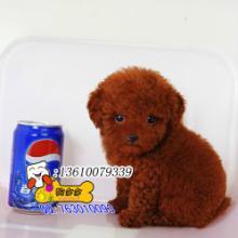 供应广州哪里有卖贵宾犬图片