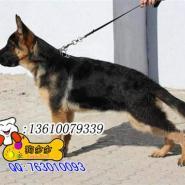 珠海哪里有卖德国牧羊犬纯种黑背图片