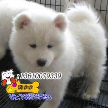 供应萨摩耶 萨摩犬 萨摩狗 广州纯种萨摩犬价格萨摩耶萨摩犬萨摩狗图片