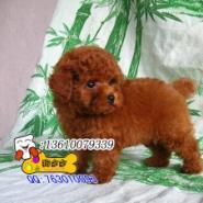 广州买泰迪熊多少广州哪里有卖泰迪图片