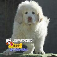 东莞狗场有卖纯种大狮头藏獒图片
