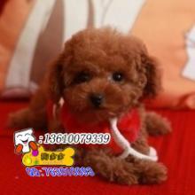 供应广州哪有卖贵宾犬广州哪里有卖贵宾犬图片