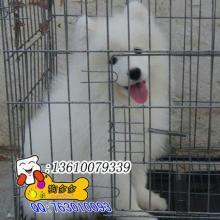 供应广州 哪里有卖萨摩耶犬 广州哪里有买萨摩耶广州那有犬 广州哪图片