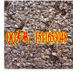 供应台湾杉种子播种方法栽培种植技术图片