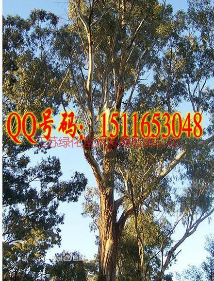 供应桉树种子价格图片