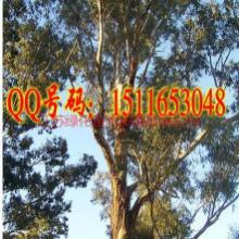 供应桉树种子价格