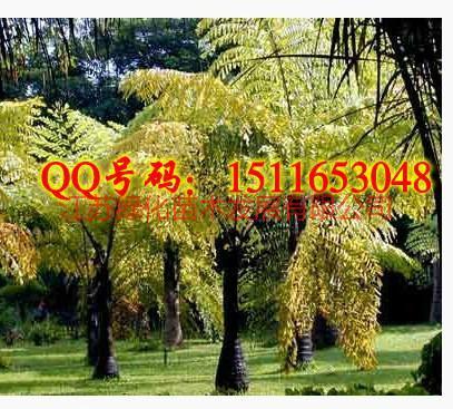 供应董棕树种子图片