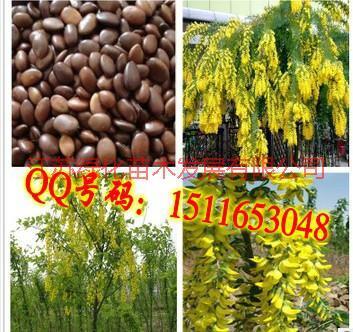 供应苏格兰金链树种子播种方法种植栽培图片