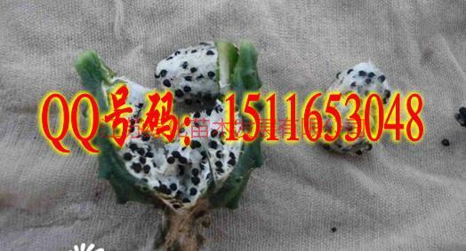 供应仙人球种子播种方法种植栽培技术图片