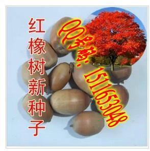 供应红橡树种子播种方法栽培种植技术图片