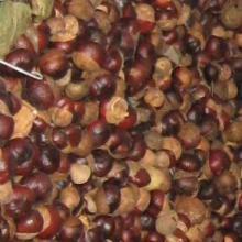 供应湖南七叶树种子种苗批发︳湖南七叶树种子种苗供货商︳七叶树种子价格图片