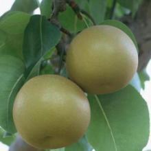 供应圆黄梨树苗河北哪里的最便宜图片