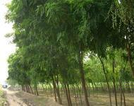 供应专业种植刺槐批发