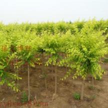 陕西金叶垂榆价格;陕西金叶垂榆苗木基地;陕西金叶垂榆批发