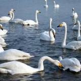 供应天鹅-高贵的白天鹅