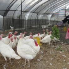 供应大型白羽尼古拉火鸡