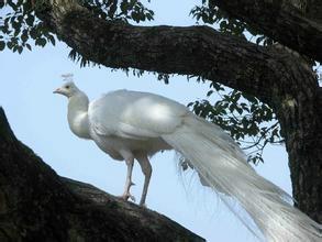供应白孔雀价格,白孔雀养殖技术