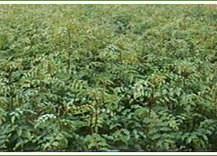 供应绿篱/80公分以上花椒苗枸橘树苗图片