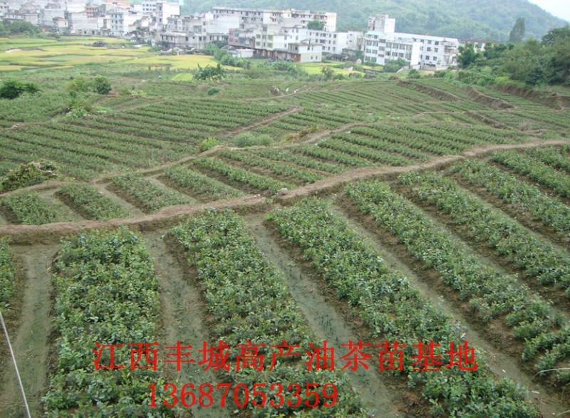 油茶树嫁接茶花价格 油茶树嫁接技术 油茶树嫁接