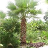 供应江苏棕榈生产供应商,棕榈的报价,安徽棕榈批发