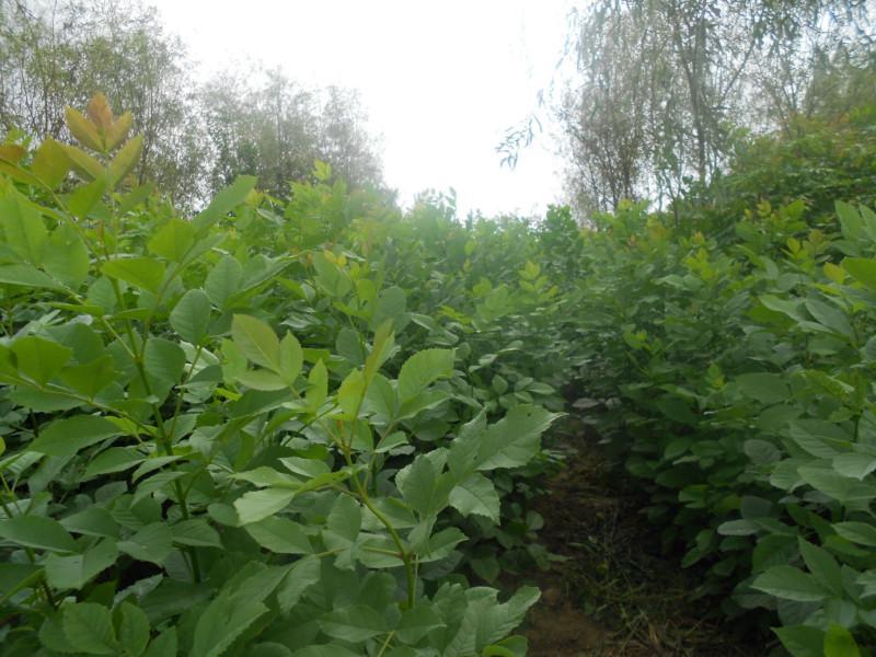 供应哪里有优质黄山栾树苗,黄山栾树小苗卖?