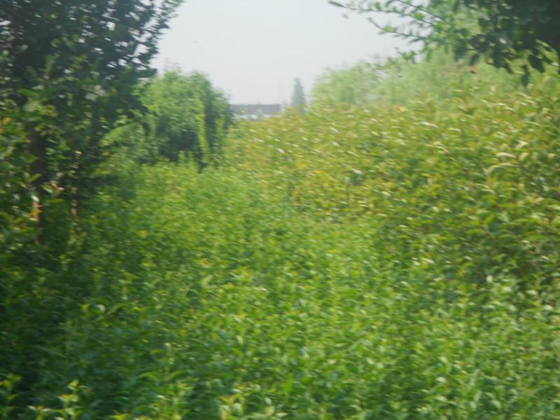 供应江苏大丰木槿生产基地,江苏盐城木槿的价钱,大丰木槿小苗繁育