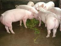 供应二元母猪