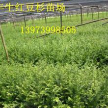 供应福建红豆杉苗,福建红豆杉苗价,福建红豆杉种苗供货商,福建红豆杉种图片
