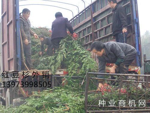 供应曼地亚红豆杉,曼地亚红豆杉苗木,曼地亚红豆杉种子