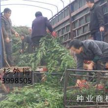 供应福建红豆杉种,福建红豆杉种批发商,福建红豆杉种供货商图片